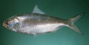 Tenualosa ilisha